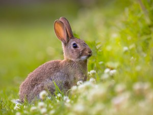 Watching Wild European rabbit